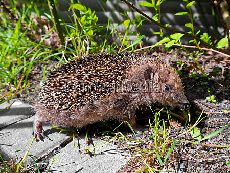 hedgehog in the garden cute animals
