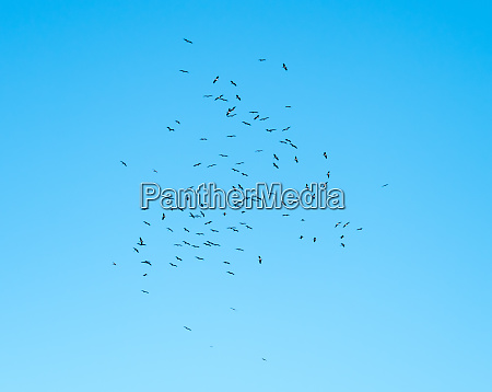 black storks rising on a thermal