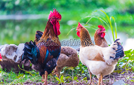 rooster and chickens on a free