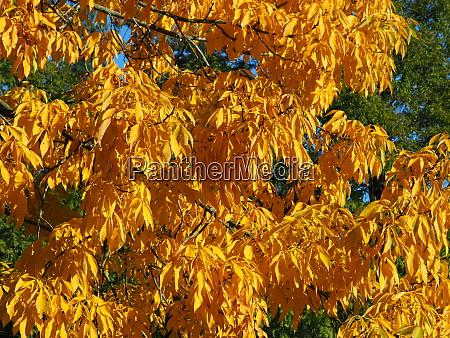 beautiful bright yellow autumn foliage of