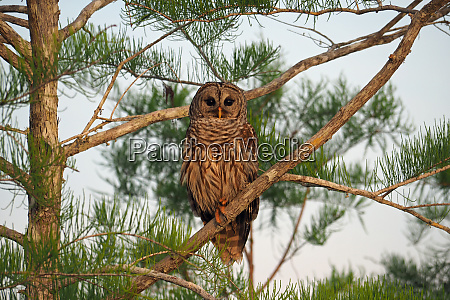 barred owl in everglades national park