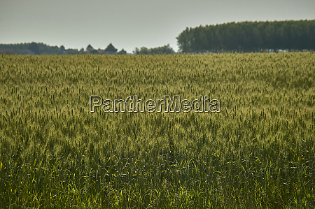 extensive wheat crops