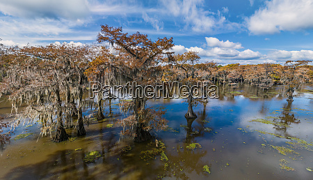 aerial view of bald cypress swamps