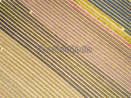 aerial view of flower fields in
