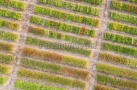 aerial view of rows of bulb
