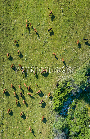 aerial view of herd of cows