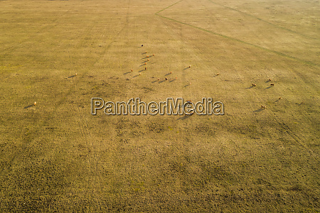 aerial view of cattle grazing in