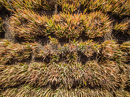 aerial view of aloe vera fields
