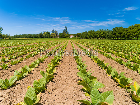 aerial view of tobacco agriculture in