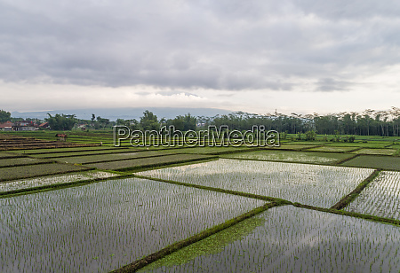 aerial view of paddy field growing
