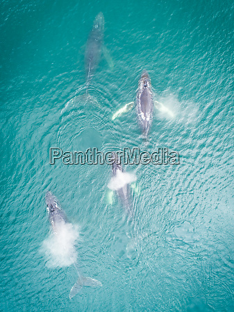 aerial view of four whales in