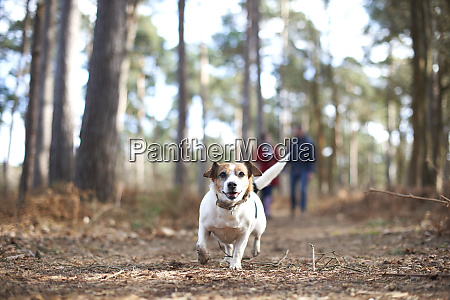 happy, , carefree, dog, running, in, autumn - 27457316
