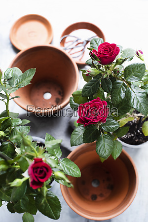 still life of rose plants and
