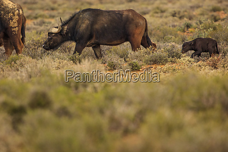 buffaloes and calf grazing in nature