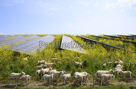 sheep grazing mustard plants at solar