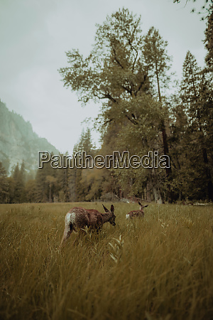 deers grazing in nature reserve yosemite