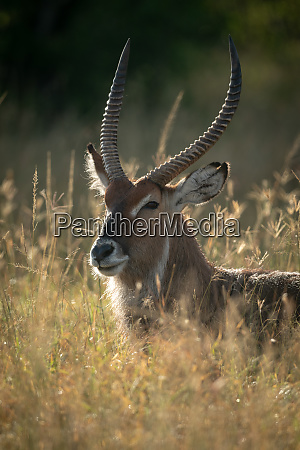 close up of male defassa waterbuck