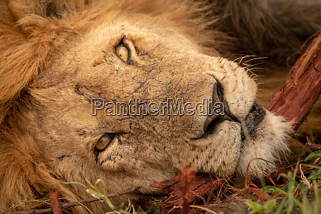close up of male lion head