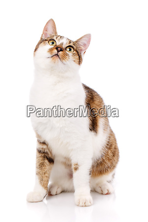 cat is isolated on white cat