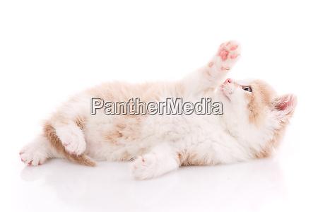 a little cute kitty lying on