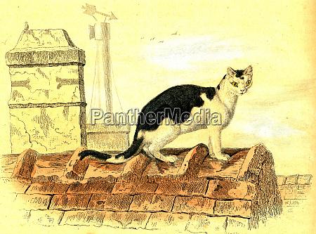 domestic cat vintage engraving