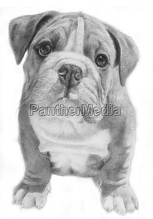 cute bulldog hand drawn illustration