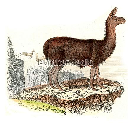 the llama vintage engraving