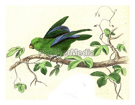 parakeet all year vintage engraving