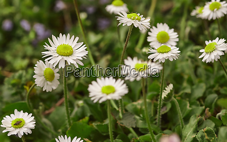 spring inflorescence of daisies flowers