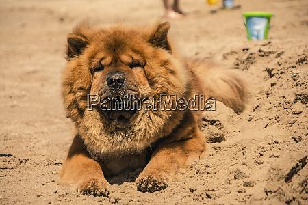 akita dog with orange fur 3