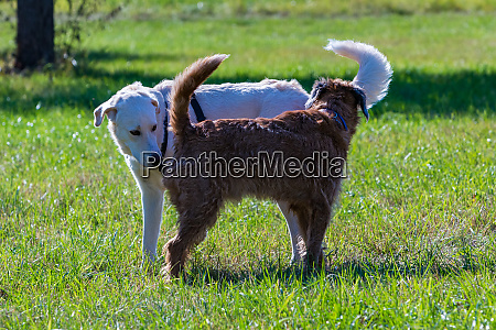 two dogs meeting on a meadow