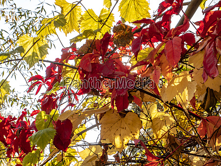 red autumn leaves of a tree