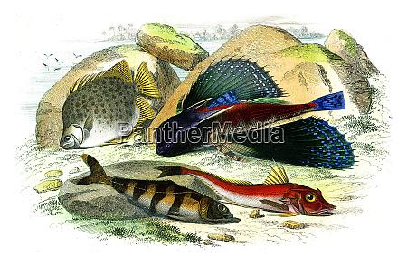 the chetodon argus the dactyloptere pirapede