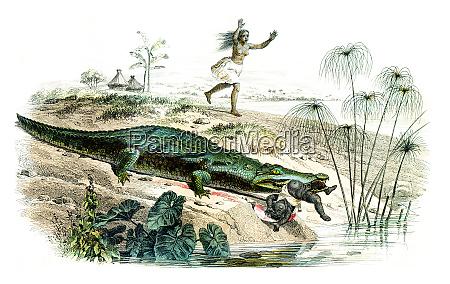 the crocodile vintage engraving