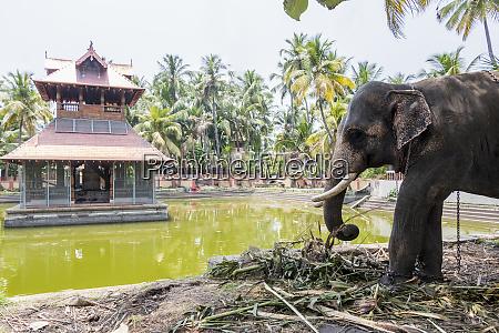 elephant in siva temple in kochi