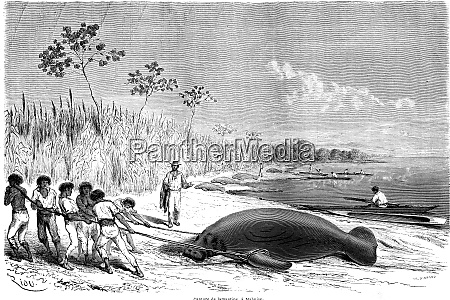 capture of manatees in malbuisson vintage