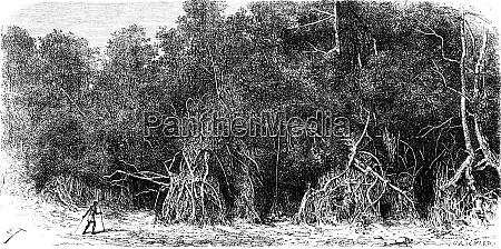 mangroves equatorial rivers vintage engraving
