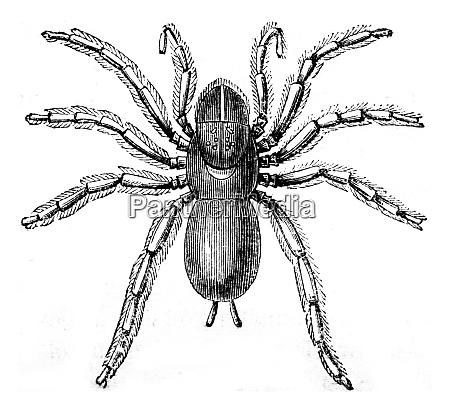 pioneer mygale vintage engraving