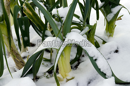 close up of snowcovered leek