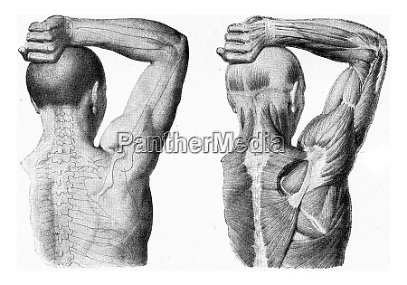 the muscles of the arm of
