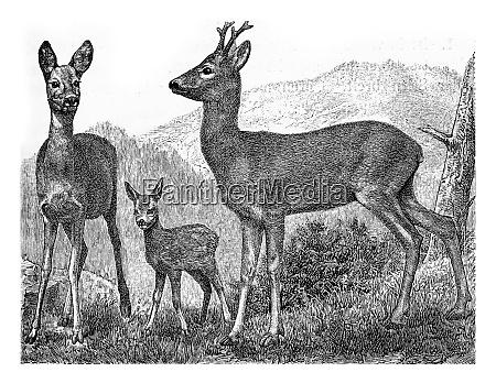 the deer vintage engraving