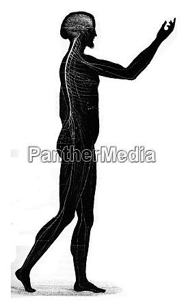 the nervous system vintage engraving