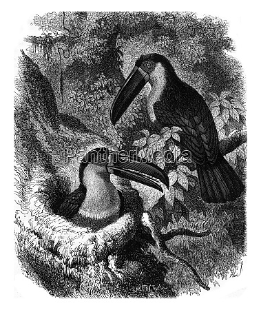 ariel toucan and its nest vintage