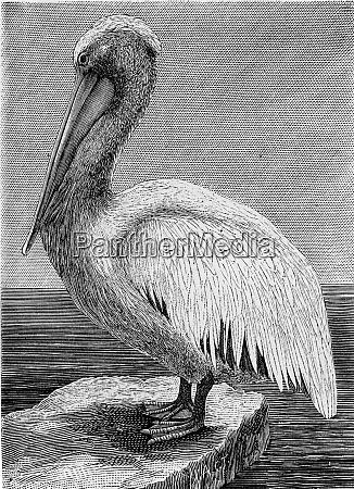 the pelican vintage engraving