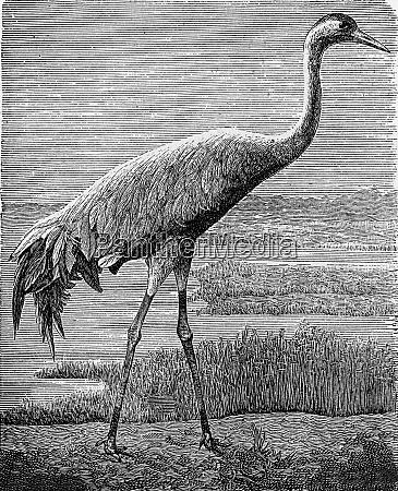 the crane vintage engraving