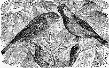 the house sparrow vintage engraving