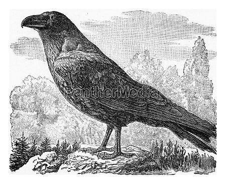 the raven vintage engraving