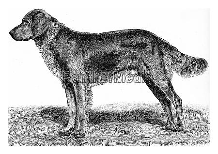 the dog vintage engraving