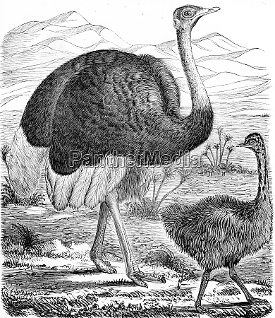 ostrich of africa vintage engraving