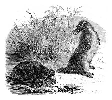 platypus vintage engraving